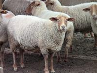 Tunis Ewe Flock at Leard Farm