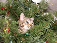 George the kitten in Leard family Christmas tree