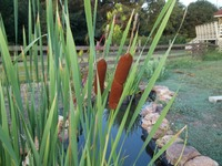 Cattails in Karen Leard's water garden
